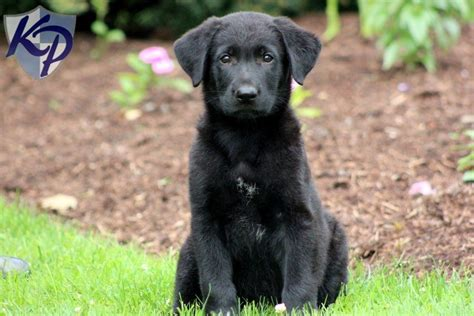 golden retriever black lab mix puppies for sale lab mix keystone puppies puppies for sale in pa