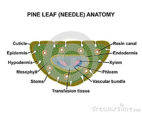 Pinus Leaf Cross Section by Pine Leaf Needle Anatomy Stock Illustration Image