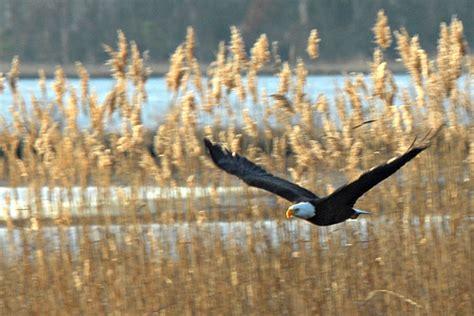 nikographer maryland bald eagle s