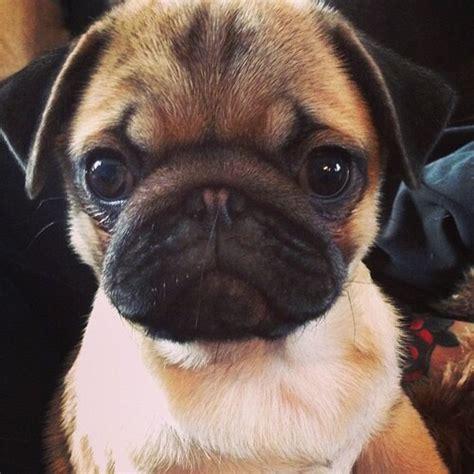 big eyed pug big pug pugs daily aww image 2984466 by winterkiss on favim
