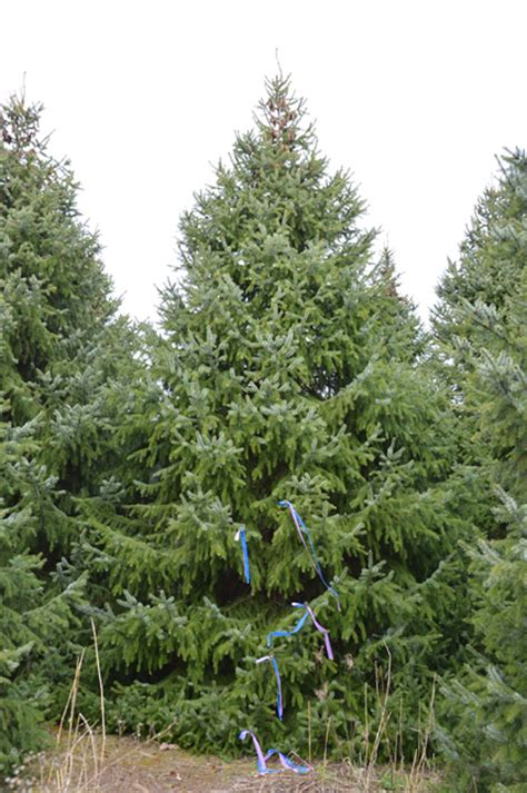 gallery of serbian spruce christmas tree fabulous homes
