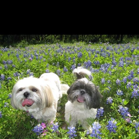the cutest shih tzu in the world 62 best images about shih tzu on