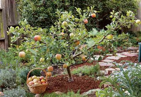 fruit trees for small backyards create small fruit trees with this pruning method