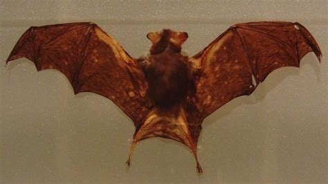 kitti s hog nosed bat or bumblebee bat bat facts and
