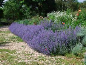 Winter Climbing Plants - nepeta giant of much more than just six hills ironwood gardens