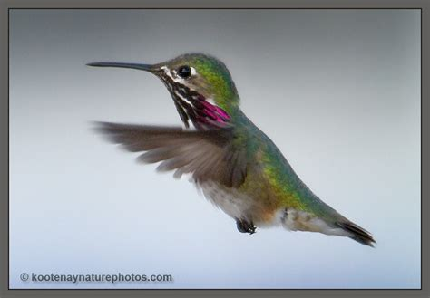calliope hummingbird 171 kootenay nature photos