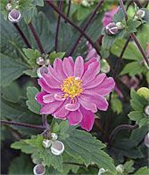 grow beautiful fall flowering perennials 41 best images about perennial border on pinterest white