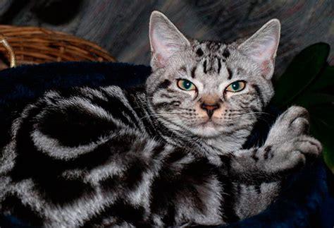 perros peque os de pelo corto razas las 10 mejores razas de gatos para ni 241 os peque 241 os