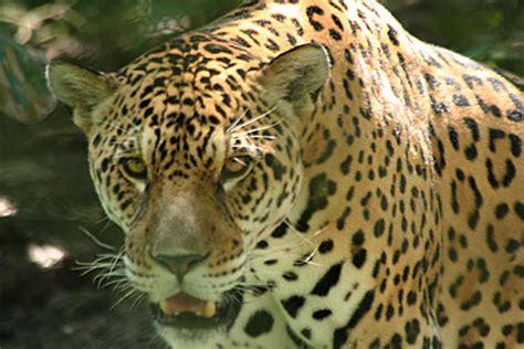 imagenes de jaguar blanco maps of iquitos