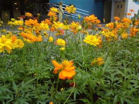 Benih Bunga Kenikir menanam dan budidaya bunga kenikir satu jam