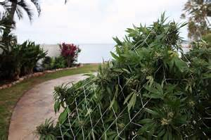 indica magna by hawaii aquatic as a state of islands marijuana sales tricky for hawaii