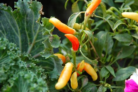 Chili S Miami Gardens by Gram S Gardens Companion Planting Chili Peppers