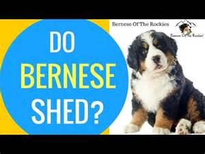 bernese mountain funnydog tv