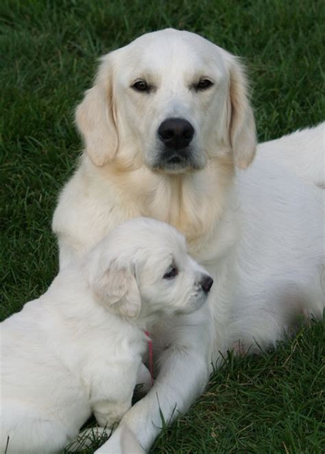 european golden retrievers what is a european golden retriever b s panel what is a european golden