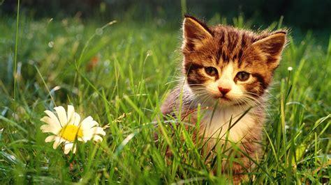kitten wallpaper for pc wallpapers cats kittens hd desktop wallpapers 4k hd