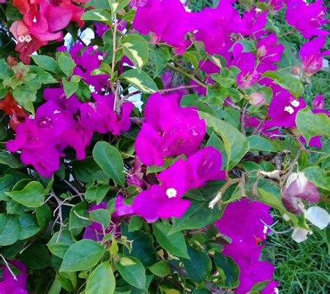 Bibit Tanaman Bougenville jual bibit tanaman unggul jual bibit unggul kualitas