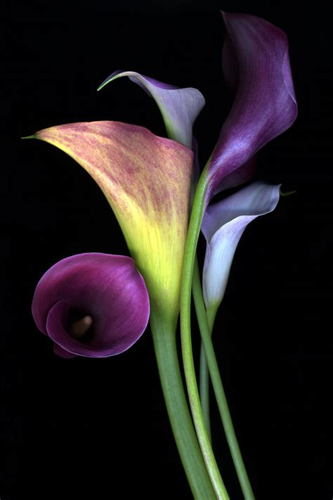 talking about flowers the calla lily praesto acacia