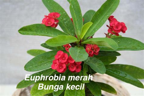 Bibit Bunga Kamboja Varigata dedaunan