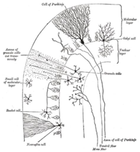 identify all indicated parts of the nerve section cervelet wikip 233 dia