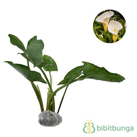 Bibit Bunga Calla tanaman calla jual tanaman hias