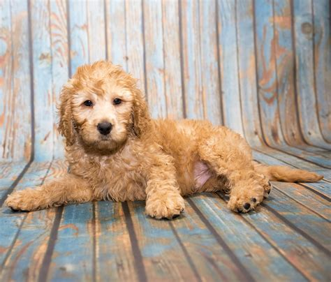 mini labradoodles mini labradoodle a complete guide for prospective owners