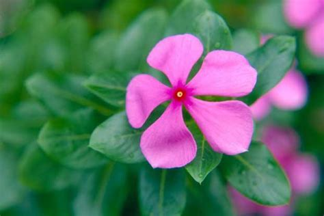 cural impatance of rosy periwinkle catharanthus roseus l g don plants of the world kew science