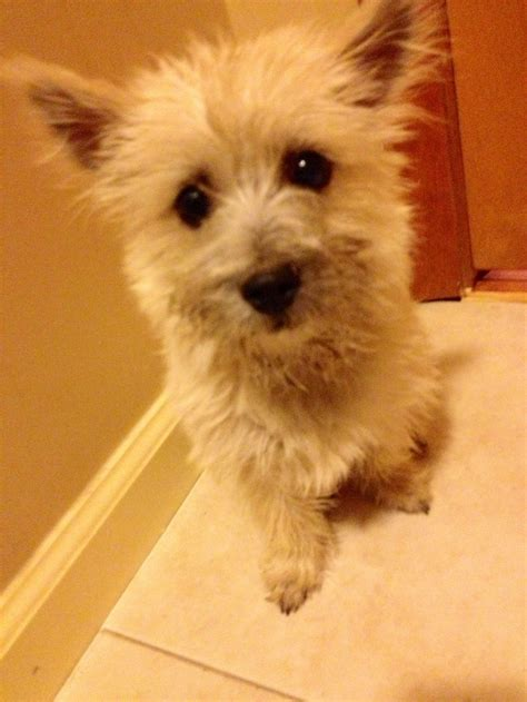 cairn terrier haircut cairn terrier hair cuts hairstylegalleries com