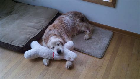 imgur golden retriever here s my 17 year golden retriever reese taking a nap with his present