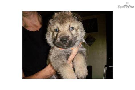 german shepherd wolf hybrid puppies for sale german shepherd puppy for sale near killeen temple ft 800735b2 c261