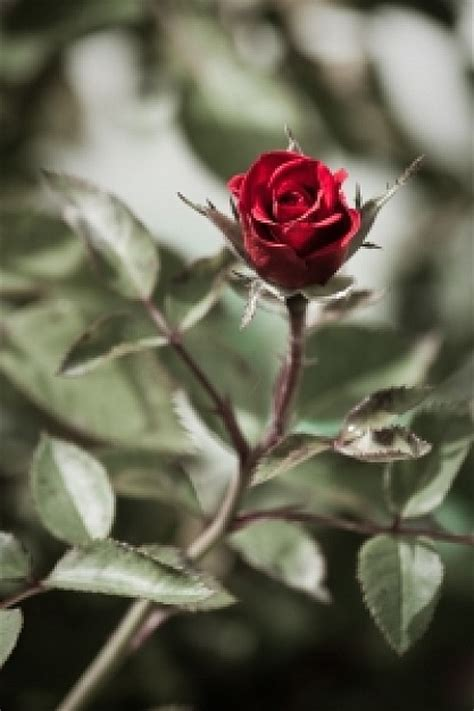 imagenes de flores solitarias a rosa solit 225 ria baixar fotos gratuitas