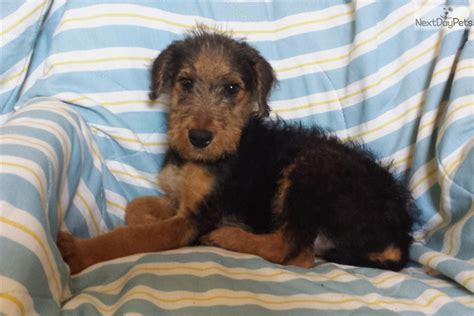 airedale puppies for sale near me airedale terrier puppy for sale near 46a77274 7061