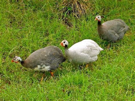 backyard guinea fowl backyard guinea fowl backyard guinea fowl 28 images what