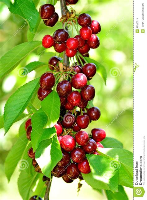cherry tree unripe cherries hanging on a cherry tree branch stock photos image 32240313