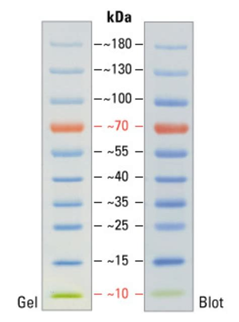 protein ladder pageruler prestained protein ladder 10 to 180 kda