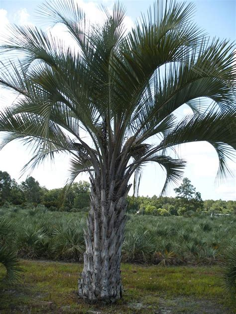 palm results pindo palm tree image search results