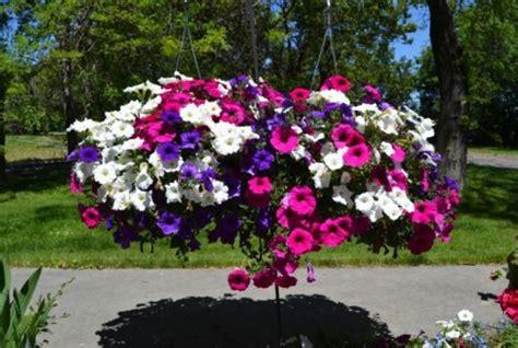 Biji Bunga Petunia cara menanam petunia dari biji bibitbunga