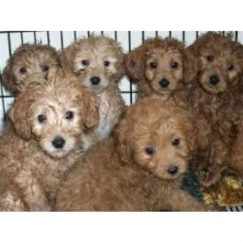 mini doodle rescue goldendoodle breeders in new york freedoglistings