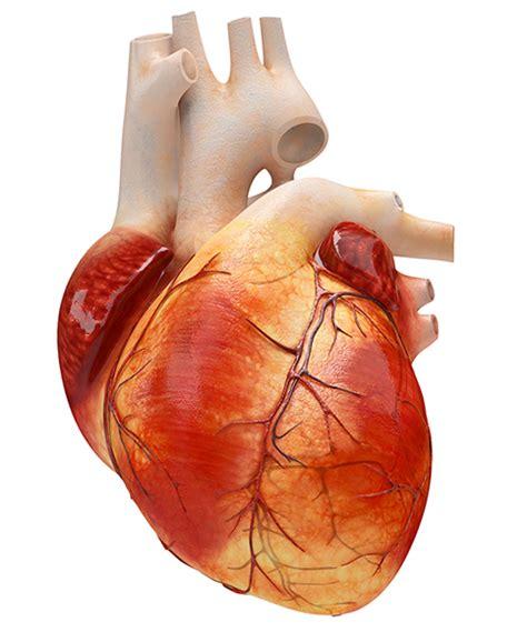 imagenes de corazones organo realizan impresi 243 n 3d de coraz 243 n usando dos t 233 cnicas de