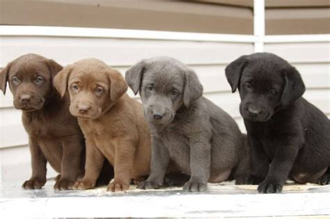 purebred black lab puppies purebred silver chocolate and black lab puppies for sale in winkler manitoba