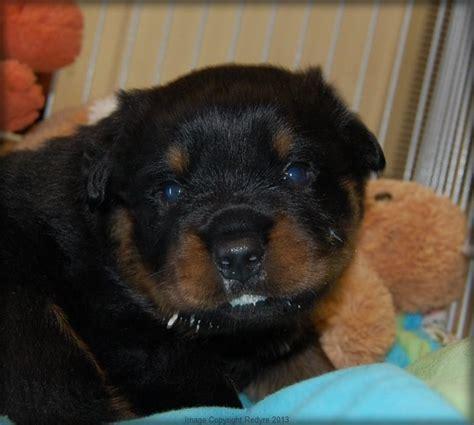 buff rottweiler baby rottweiler dang is 21 days warning