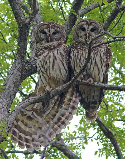 dallas trails barred owls troubadours of the trees