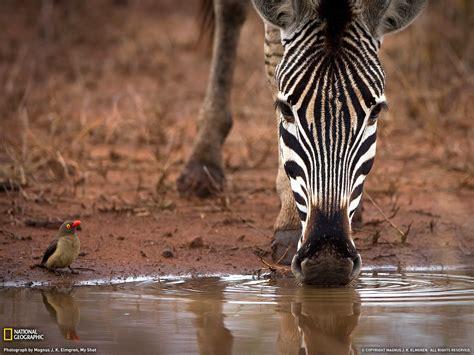 Ox Natgeo Wildd ウシツツキとシマウマ 南アフリカ ナショナルジオグラフィック日本版サイト