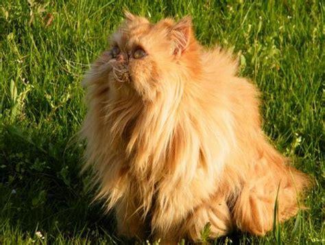 cerco gatti persiani gatto persiano femmina cerca fidanzato petpassion