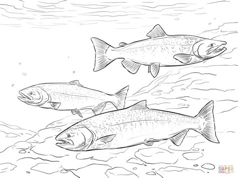 salmon fish coloring pages chinook salmon coloring page free printable coloring pages