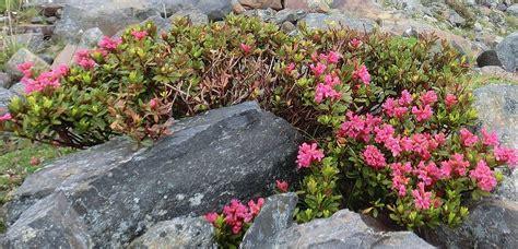 Flowering Garden Shrubs Identification What Is This Pink Flowering Alpine Shrub Gardening Landscaping Stack Exchange