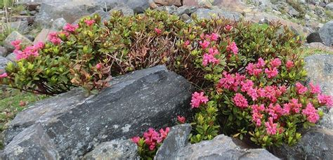 shrubs flowers identification what is this pink flowering alpine shrub
