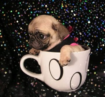 pug how much pugpugpug how much would you pay for a teacup pug