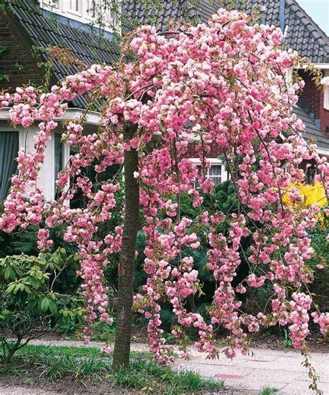 cheal s weeping pink flowering cherry tree 5 6ft p serrulata kiku shidare zakura flowers pink