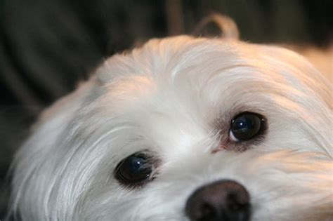 eye stains how to get eye stains of maltese dogs cuteness