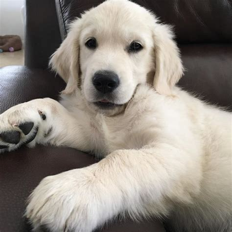 why were golden retrievers bred best 25 retriever puppies ideas on baby golden retrievers dogs and
